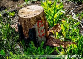 Novxanıda ağac kəsdirən qadın cəzalandırıldı