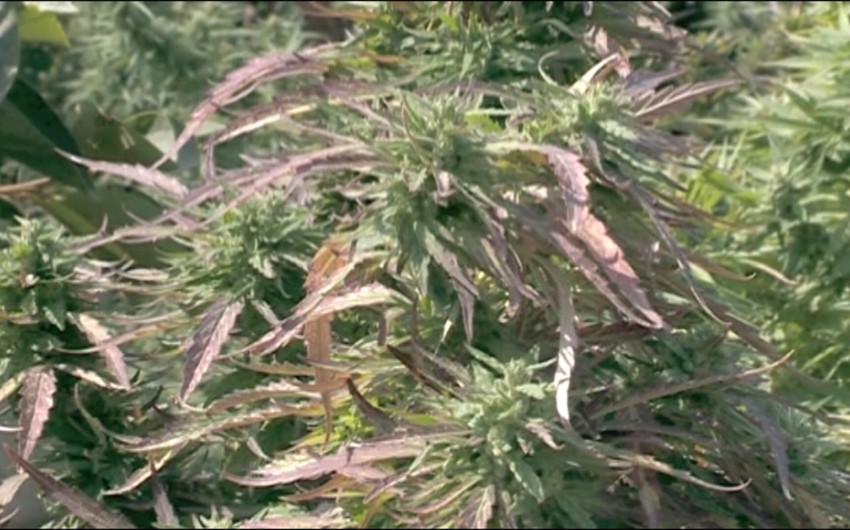 Narkotik yetişdirən Şəmkir sakini saxlanılıb