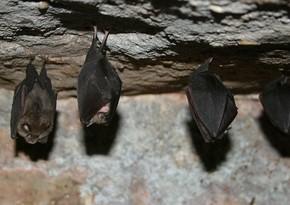 У летучих мышей и панголинов обнаружили антитела к коронавирусу
