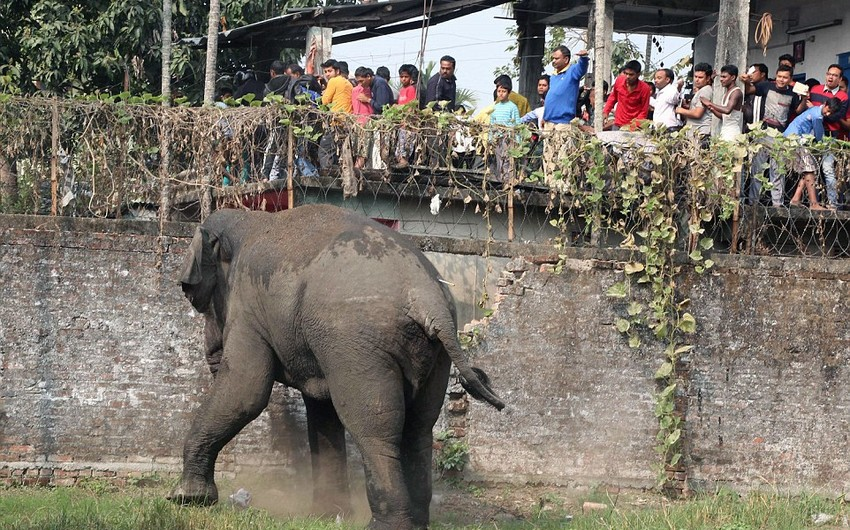 Hindistanda 15 nəfəri öldürmüş fil güllələnib