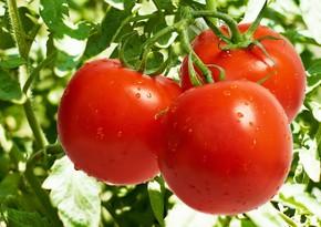 Россия может ограничить импорт помидоров из Армении