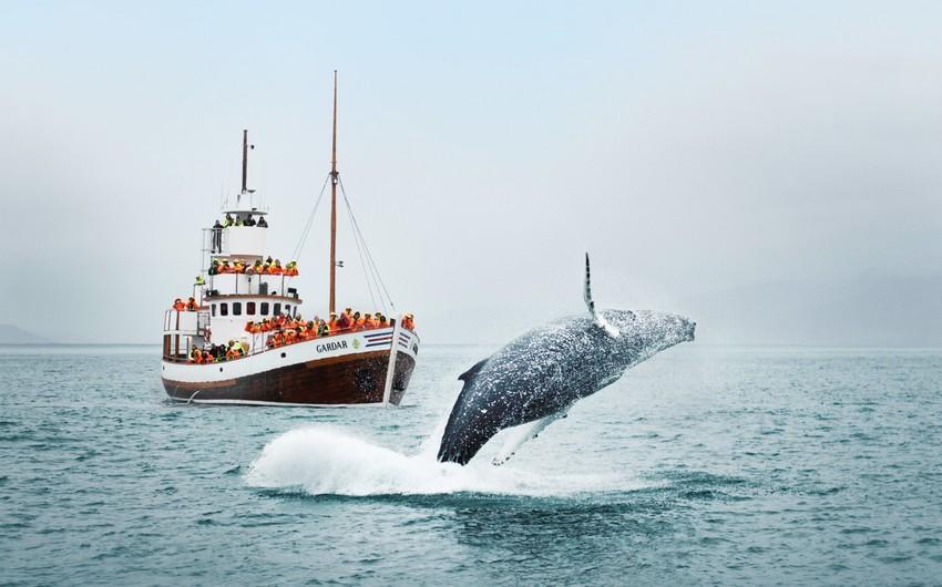 Власти Исландии продлили разрешение на китовую охоту