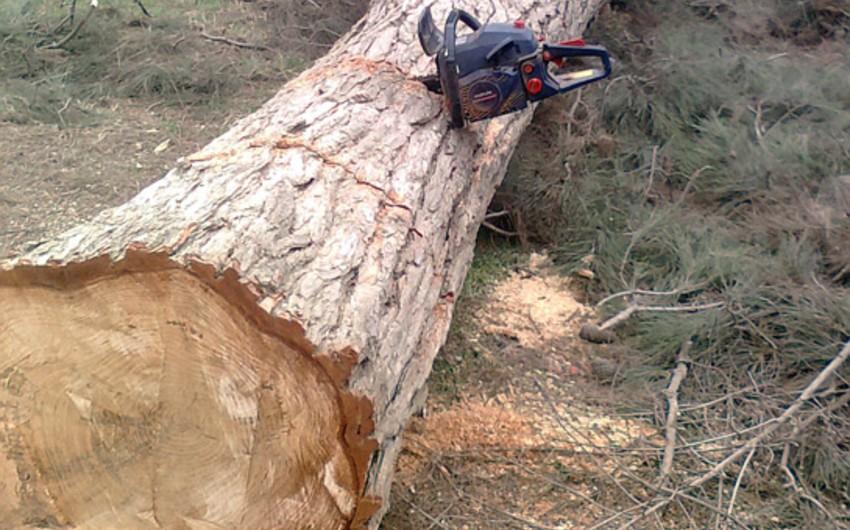 Bakıda ağacların kəsilməsinə səbəb olan vəzifəli şəxs barəsində cinayət işi başlanılıb
