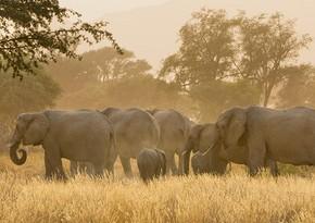 Установлена причина таинственной гибели слонов в Африке