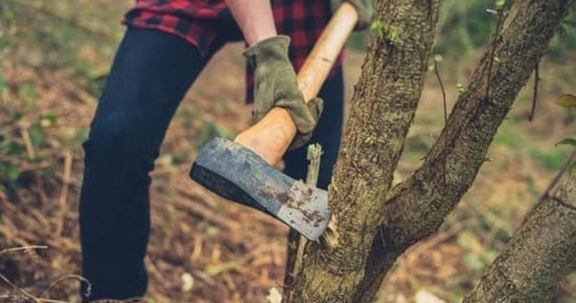 Nazirlik Bakıda ağacın kəsilməsi ilə bağlı araşdırma aparır