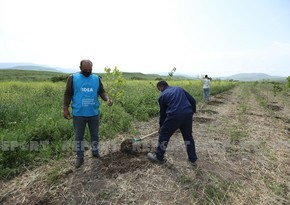 Over 600 trees planted in Azerbaijan's Fuzuli district