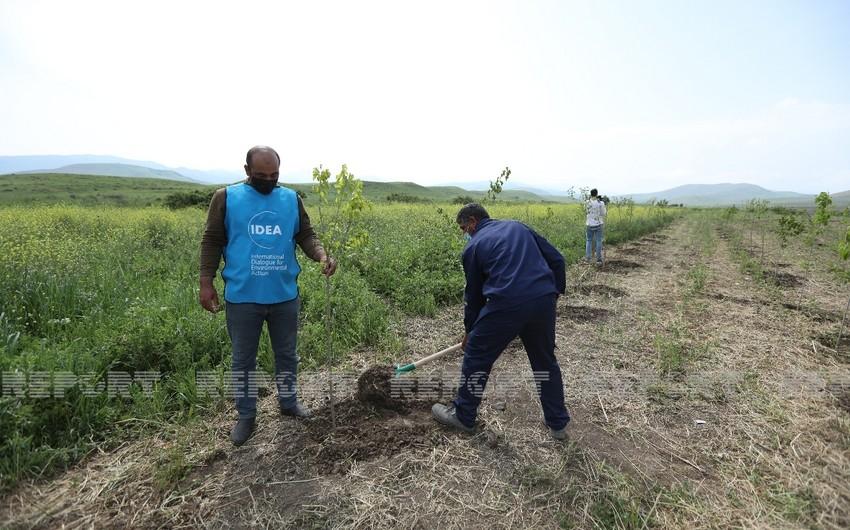 Over 600 trees planted in Azerbaijan's Fuzuli district