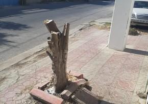 Xidmət rəsmisi: Ağacların kəsilməsi ilə bağlı araşdırma aparılır