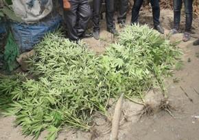 Lənkəran sakinindən 12 kiloya yaxın narkotik bitkilər aşkarlanıb
