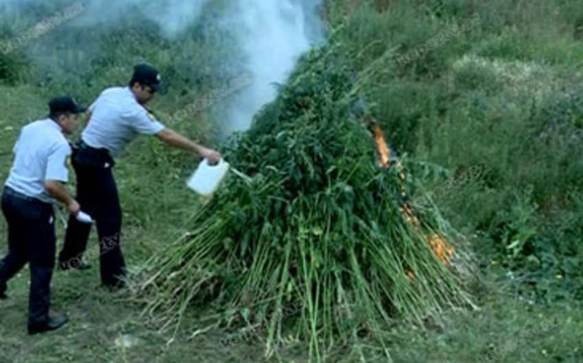 Qaxda 3 tona yaxın narkotik bitkilər aşkarlanaraq məhv edilib