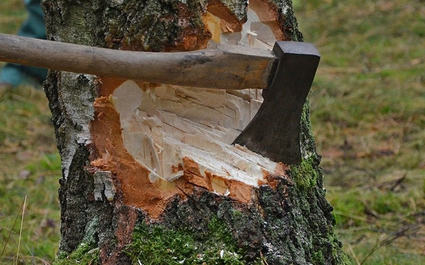 Ucarda sahibkar istirahət mərkəzinin həyətindəki ağacları kəsib
