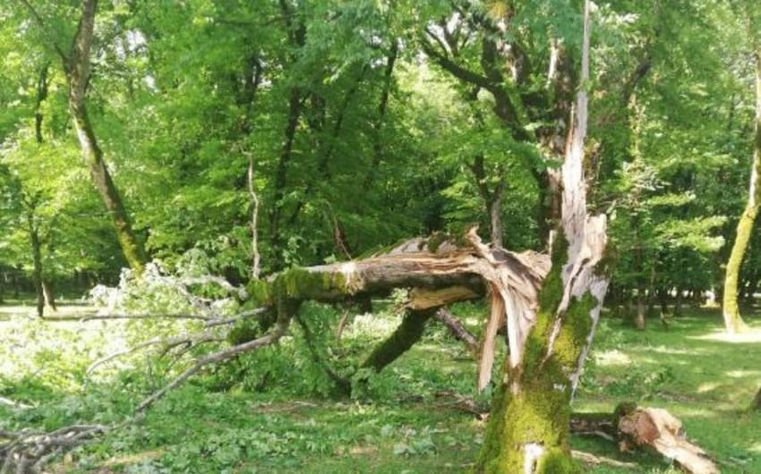 ETSN rəsmisi: Güclü külək İsmayıllıda meşə ağaclarına ziyan vurub
