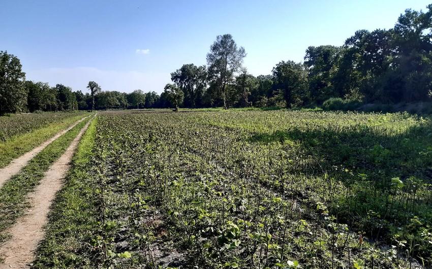 Şəki və Qaxda yararsız ərazilərdə 2 min hektara yaxın fındıq bağları salınıb - YENİLƏNİB