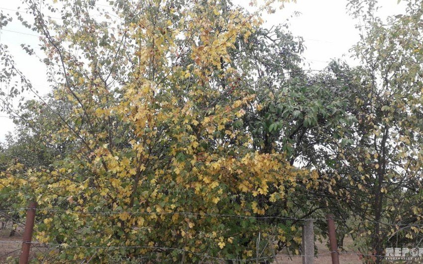 Autumn has come to Quba district ahead of time - PHOTO REPORT