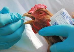 В Нидерландах зафиксировали вспышку птичьего гриппа