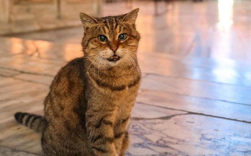 В Стамбуле умерла знаменитая кошка Айя Софии Гли