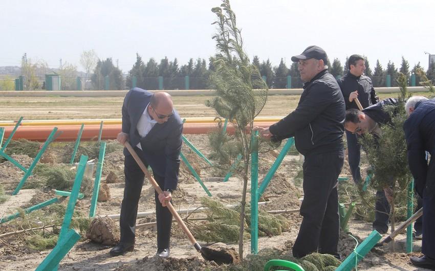 Balaxanı tullantı poliqonunda 1000 ədəd ağac əkilib - FOTO