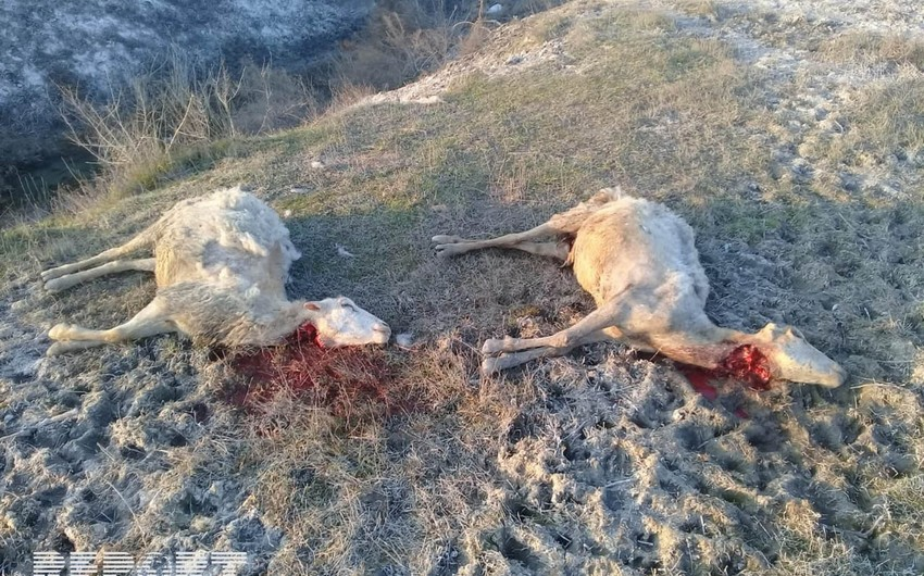 Ağdaşda canavarlar sürüyə hücum edib - VİDEO - YENİLƏNİB