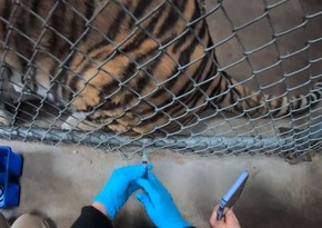 Zoos in US begin vaccinating animals against COVID