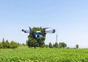 Ucarda zərərvericilərə qarşı kimyəvi mübarizə dronla aparılır
