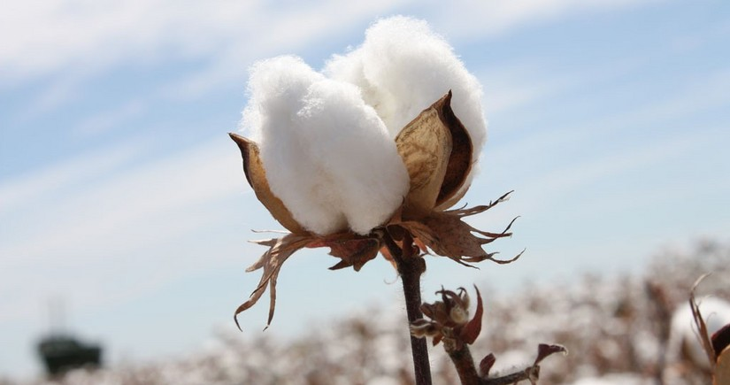 Azerbaijan doubles revenues from cotton exports