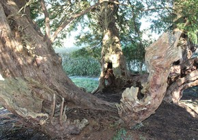 One of Britain's oldest trees has changed sex