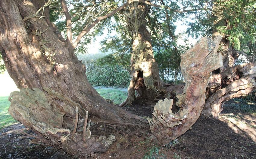 Böyük Britaniyada qocaman ağacın cinsi dəyişib