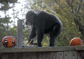Старейший шимпанзе мира умер в американском зоопарке