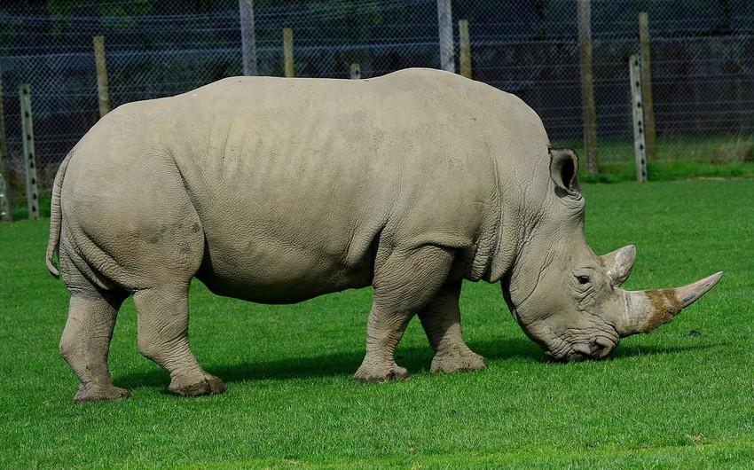 В ЮАР заявили о росте числа убийств носорогов браконьерами