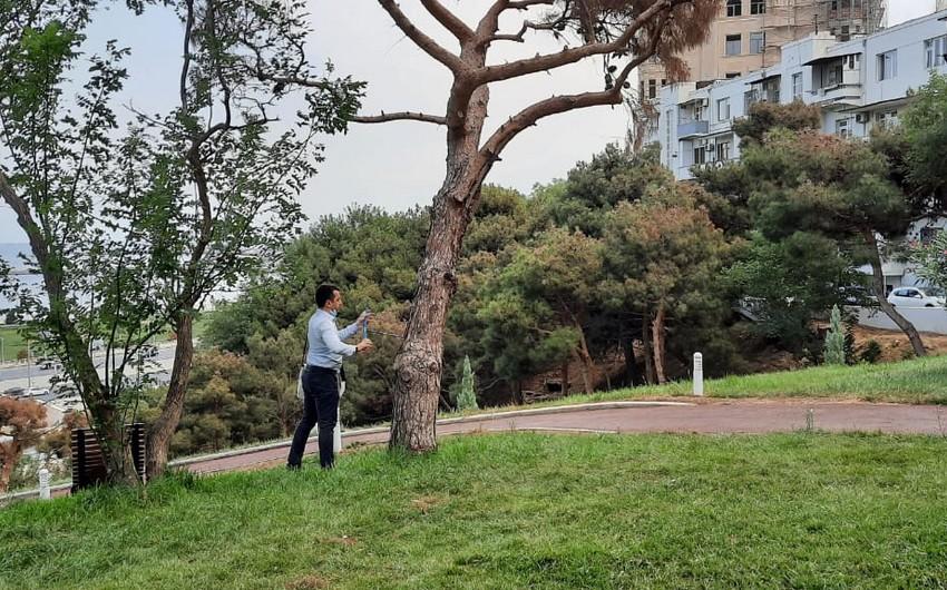 Bakıda ağaclar quruyur, İşçi Qrup yaradıldı