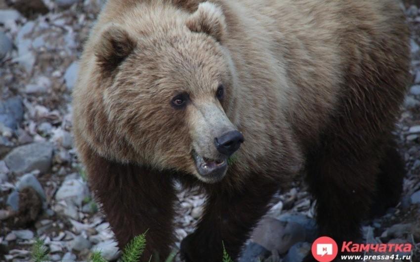 Rusiyada ayı ovçunu parçalayaraq öldürüb
