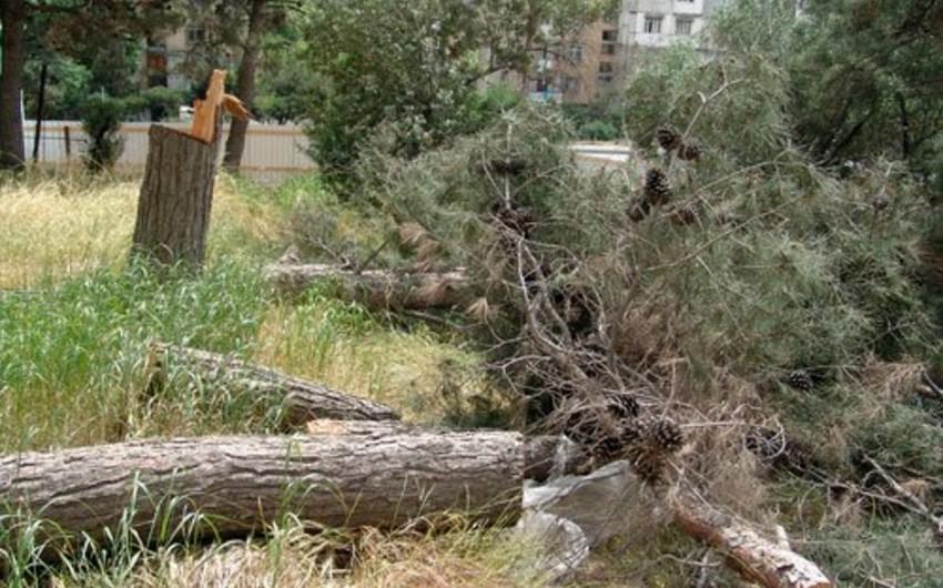 Paytaxtda ağacın qırılması iki küçəni qazsız qoyub