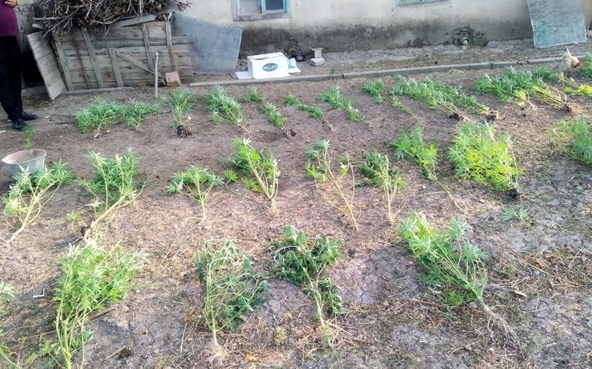 Yevlaxda çətənə bitkisinin kultivasiyası ilə məşğul olan şəxs saxlanılıb