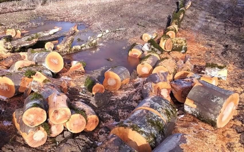 Şabranda meşə ağaclarını kəsən 3 nəfər saxlanıldı