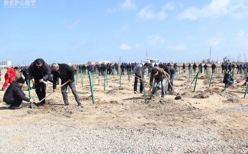 Pirallahı adasında 30 mindən çox ağac əkilib