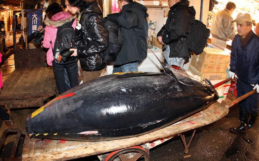 Yaponiyada çəkisi 180 kq olan balıq hərracda 37 min dollara satılıb