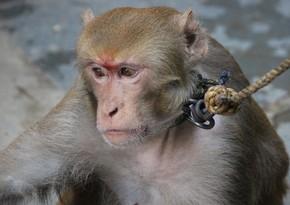 Жителя Баку укусила обезьяна