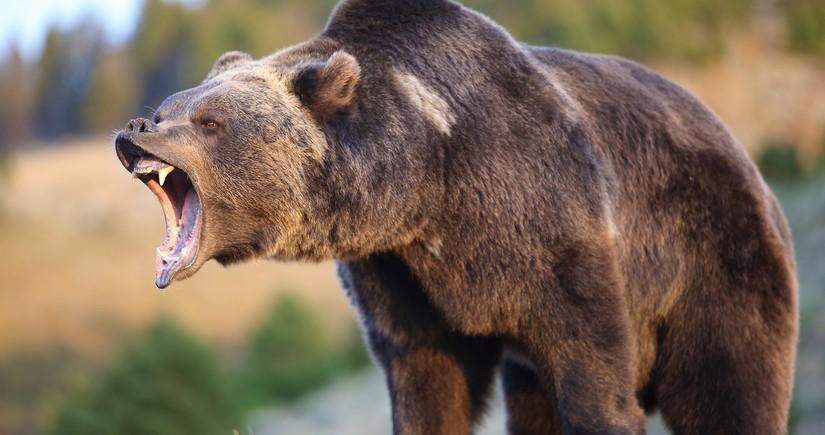 Медведь проник на военную авиабазу на севере Японии