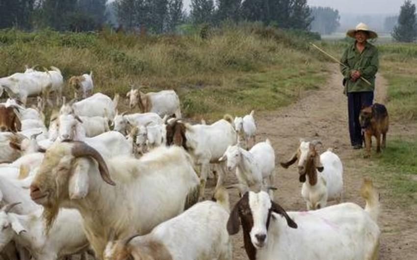 Xızıda çobanın 40 keçisi zorla əlindən alındı