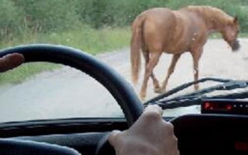 Gəncədə yola çıxan atı maşın vurub