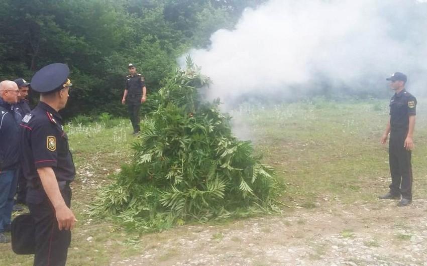 Qubada 3,2 ton narkotik tərkibli bitkilər məhv edildi