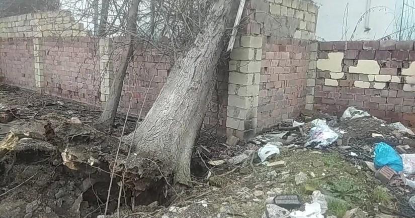 Salyanda 100 yaşlı ağac aşıb