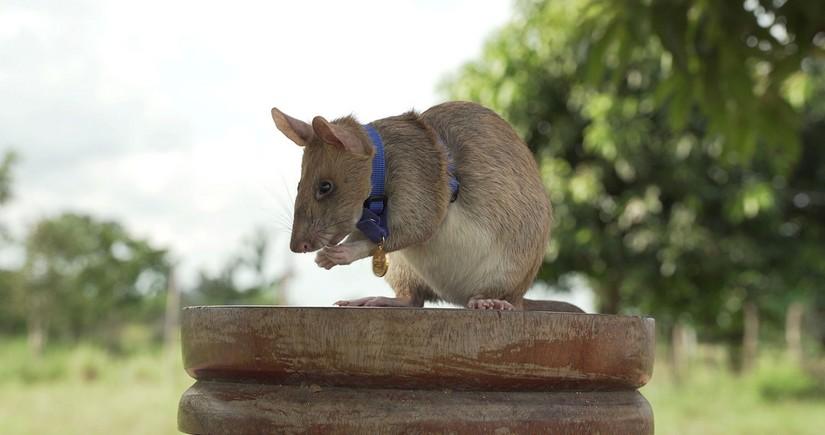 Mine-detecting rat Magawa wins PDSA Gold Medal