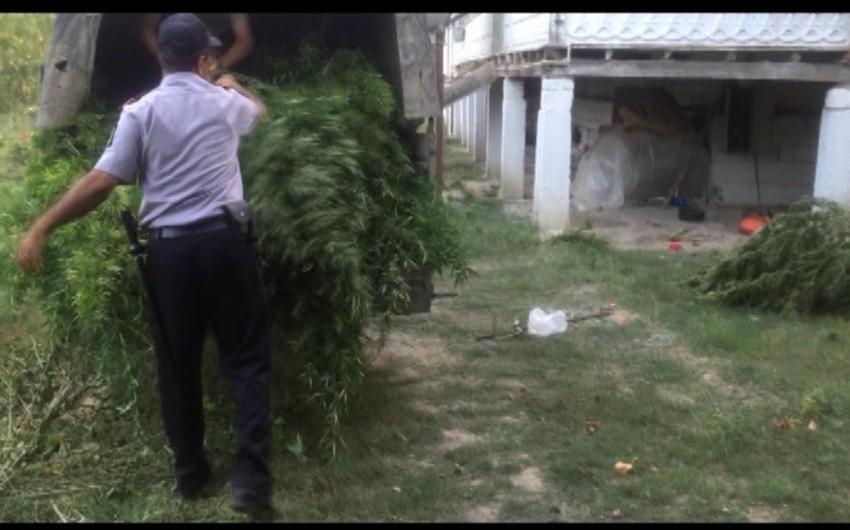 Sabirabadda 94 kiloqram çətənə kolları aşkar olunub