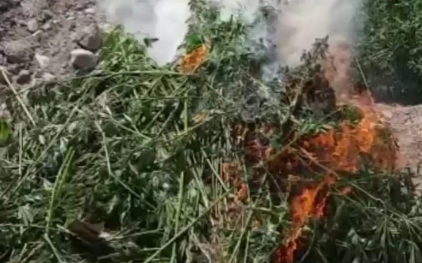 Azad edilmiş ərazilərdə narkotik tərkibli bitkilər aşkar edilib - VİDEO