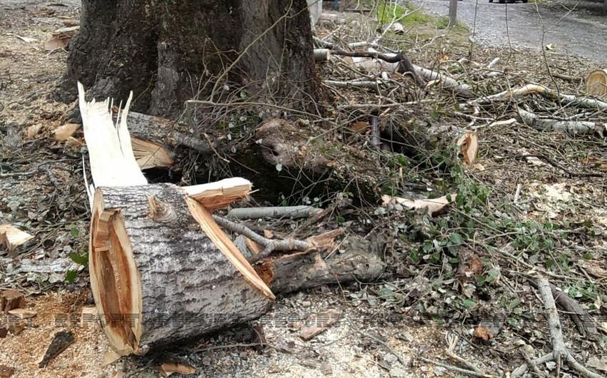 İsmayıllıda yaşı 100-dən çox olan ağac kəsildi, icra nümayəndəsi cərimələndi - VİDEO
