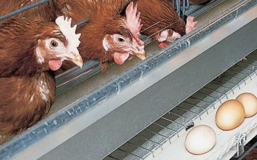 Egg and poultry meat prices rose in Azerbaijan capital - MONITORING
