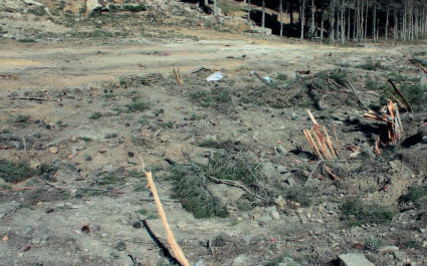 ETSN Şərq çinarının kəsilməsilə bağlı materialları Baş Prokurorluğa göndərib