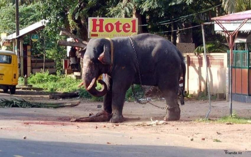 Hindistanda fil 5 nəfəri tapdalayaraq öldürüb