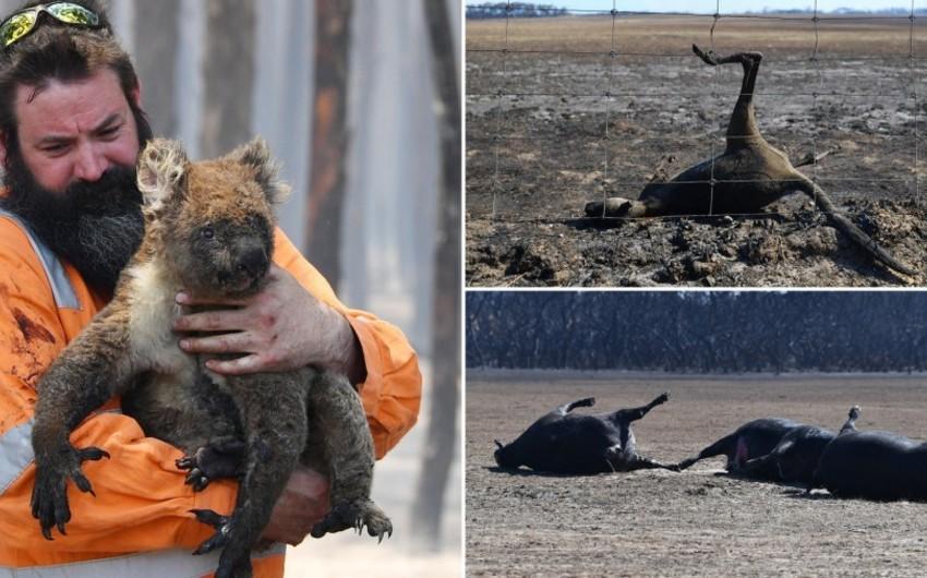 Avstraliyada meşə yanğınlarında 1 milyarddan çox heyvan ölüb